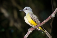 50-Tropical-Kingbird