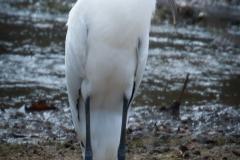 51-Wood-Stork