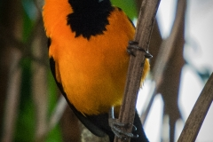 55-Orange-backed-Troupial