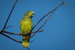 57-Turquoise-fronted-Parrot