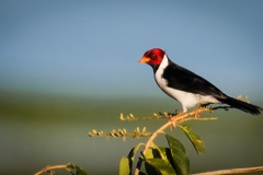 58-Yellow-billed-Cardinal