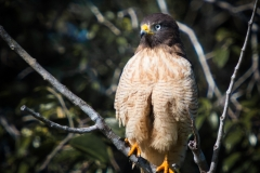 59-Young-Roadside-Hawk