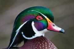 6-Wood-Duck