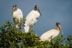 60-Wood-Storks