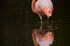 64-Flamingo