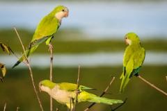 66-Monk-Parakeets