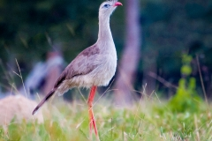 67-Red-legged-Seriema