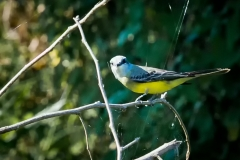 72-Tropical-Kingbird