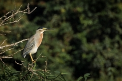 76-Striated-Heron