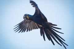 86-Hyacinth-Macaw