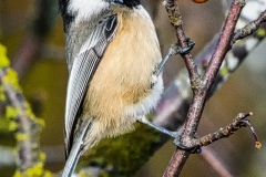 1-Black-browed-Chickadee