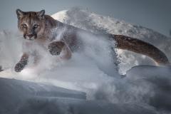 1-Mountain-lion
